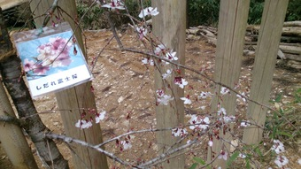 記念に植えた枝垂桜が花をつけた