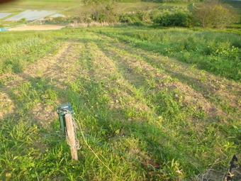 猪にやられたジャガイモ畑