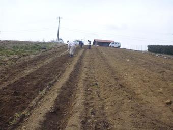 ジャガイモの植え付け完了