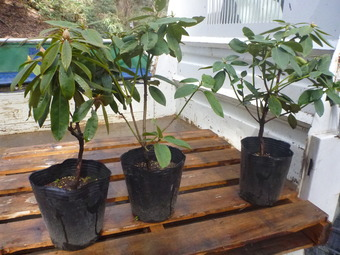 きみかげの森に西洋シャクナゲを植えました。