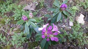 西洋シャクナゲが咲きはじめた