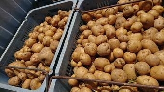 今年のジャガイモは大豊作